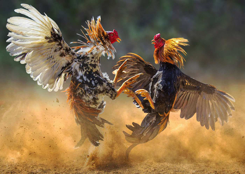 Beberapa Tips Membesarkan Ayam Jago Aduan Terbaik