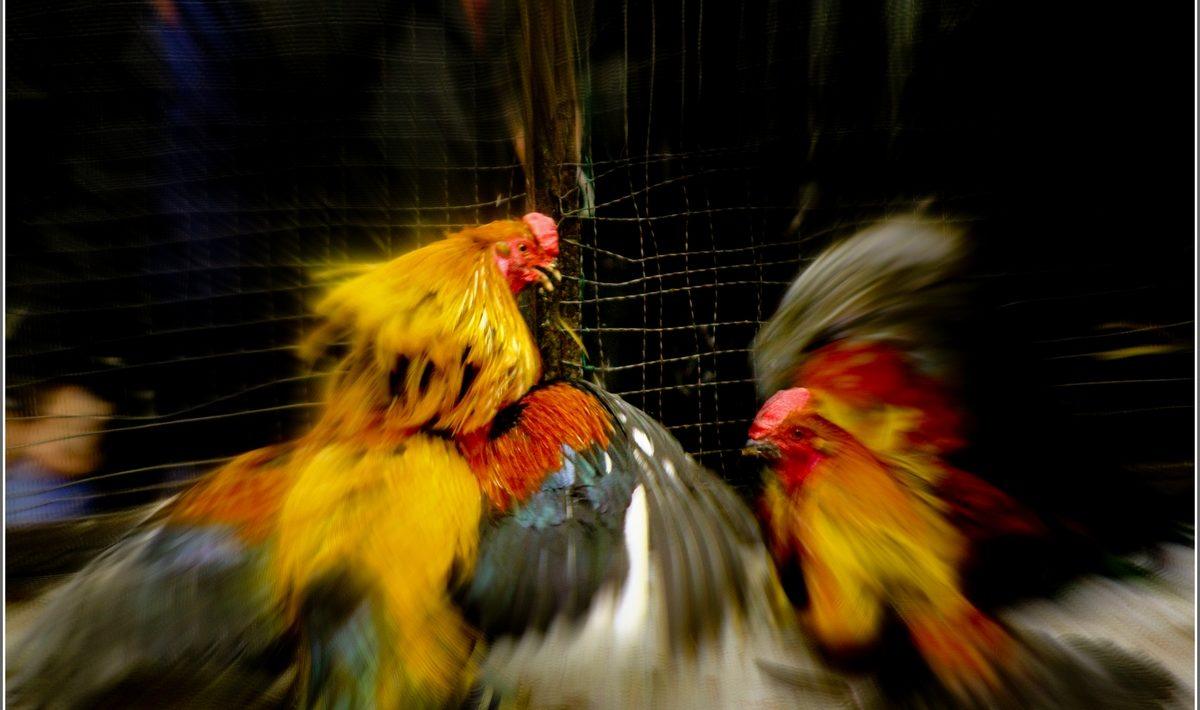 Jenis Jenis Suplemen Untuk Ayam Jago Terbaik